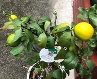 レモンとアゲハ・その後 - rhizome2-地下茎-