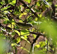 ムシクイが虫を捕まえた・・・ - 一期一会の野鳥たち
