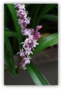 ヤブラン - 花ありて 日々