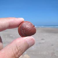 台風の運んだモノ・ジオクレアsp. - Beachcomber's Logbook