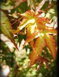 紅葉と退色 - どんぐりの木の下で……
