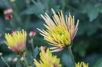 菊の花 - あだっちゃんの花鳥風月