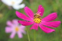 ミツバチとコスモス - 平凡な日々の中で