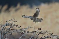 季節は....コチョウゲンボウ - 新  鳥さんと遊ぼうⅡ