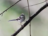 忙しないエナガの水浴び - コーヒー党の野鳥と自然パート3