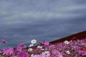 秋桜 ひたち海浜公園にて - 常陸のT's BLOG