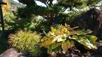 ブナの紅葉とミセバヤ - 今から・花