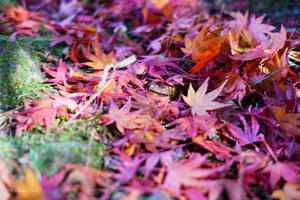 速報雲場池の紅葉 -