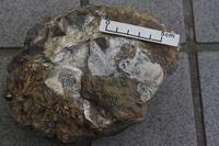 化石いぢり(8) - ふぉっしるもしてみむとてするなり