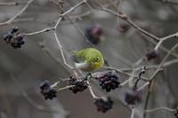 高原でメジロ - 『彩の国ピンボケ野鳥写真館』