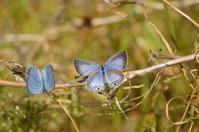 クロマダラソテツシジミ10月31日 - 超蝶