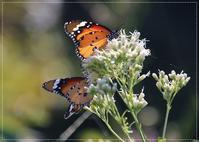 10月早い!庭の花や蝶なりと - 気ままにデジカメ散歩