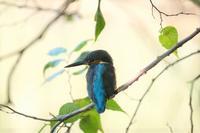 ■日蔭の中の鳥 2種20.10.31(カワセミ、コゲラ) - 舞岡公園の自然2