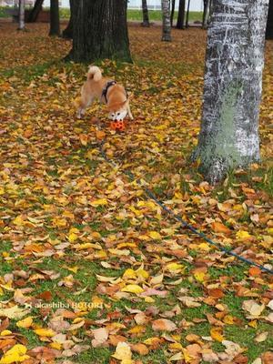 シバイヌレトリーバー - 赤柴 の ほとり