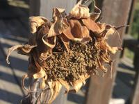 秋枯れの向日葵 - 何もしない贅沢