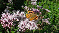 ヒメアカタテハ庭の蝶を楽しむ - 蝶のいる風景blog