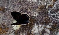 霜降霎時施(こさめときどきふる) - 紀州里山の蝶たち