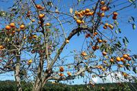 鈴なりの柿にゴックン - 東金、折々の風景