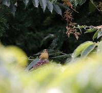 北摂の高い山間のカラスザンショウで・・・ - 一期一会の野鳥たち