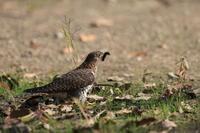 カッコウの幼鳥 ? ③ 毛虫は地面に - 気まぐれ野鳥写真