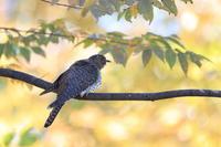 カッコウの幼鳥 ? ④ 右へ、右旋回、急上昇 - 気まぐれ野鳥写真