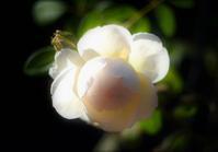 秋の薔薇 - feel a season