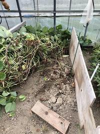 野菜作り・・サツマイモの観察 - あいやばばライフ