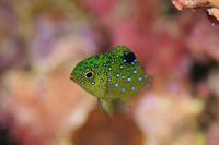 ルリホシスズメダイ - 沖縄 ダイビング 水中写真 フォトギャラリー