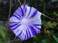二日目の変化朝顔「時雨絞り」 - 花と葉っぱ