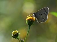 里山レポート18「里の蝶、街の蝶」 - 不思議の森の迷い人