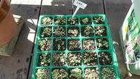 小カブの芽 - ウィズ(ゼロ)コロナのうちの庭の備忘録~Green's Garden~