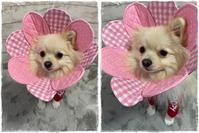 ポメラニアンのこももちゃん♪ - ハンドメイドのエリザベスカラー ★☆お花エリカラ☆★