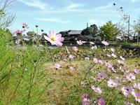 八鶴湖畔のコスモス - 東金、折々の風景