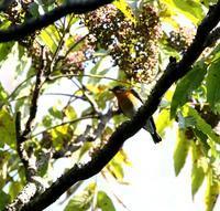 北摂山間のカラスザンショウでやっとムギマキ♂が(その2)・・・ - 一期一会の野鳥たち