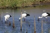 MFの沼での探鳥(コウノトリ&マガン) - 私の鳥撮り散歩