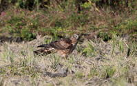 田園地帯でハイイロチュウヒ雌に出逢う(厄介者が現る) - 私の鳥撮り散歩