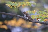 カッコウの幼鳥 ? ⑤ 秋色の公園で - 気まぐれ野鳥写真