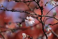 十月桜 - 潮風のキャンバス