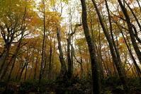 十和田市南八甲田ブナの林を歩く中編 - 日本あちこち撮り歩記