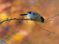 お山のズミの実とウソ雌たち - トドの野鳥日記