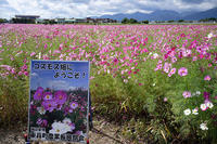 コスモス@三重県東員町コスモス畑 - デジタルな鍛冶屋の写真歩記