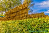 豊作で終わった今年の稲作@松之山 - デジカメ写真集