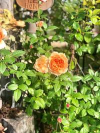 熱っぽいです(T . T)と、挿し木バラの鉢上げ♫と、マリールィーズドゥララメー♡ - 薪割りマコのバラの庭