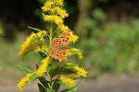 ■セイタカアワダチソウと蝶20.11.3(キタテハ、ツマグロヒョウモン、モンシロチョウ) - 舞岡公園の自然2