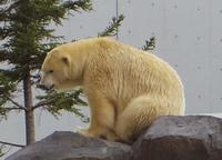 11月2日の円山動物園のくまとオラン - 黄金絹毛鼠(コガネキヌゲネズミ)