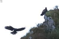 イヌワシの夫婦 - 野鳥公園