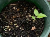 ジャボチカバの発芽とドッグローズとライム - いととはり
