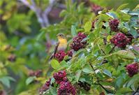 ゴシュユの実を食べに…。②(ムギマキ若鳥) - ヤソッチひだまり写真館