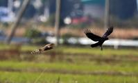 田園地帯でハイイロチュウヒ雌&カラスのバトル - 私の鳥撮り散歩
