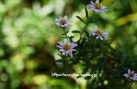 谷川紺菊と秋明菊 - 花と風の薫り